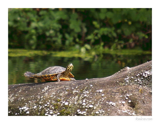 tortue-floride-003